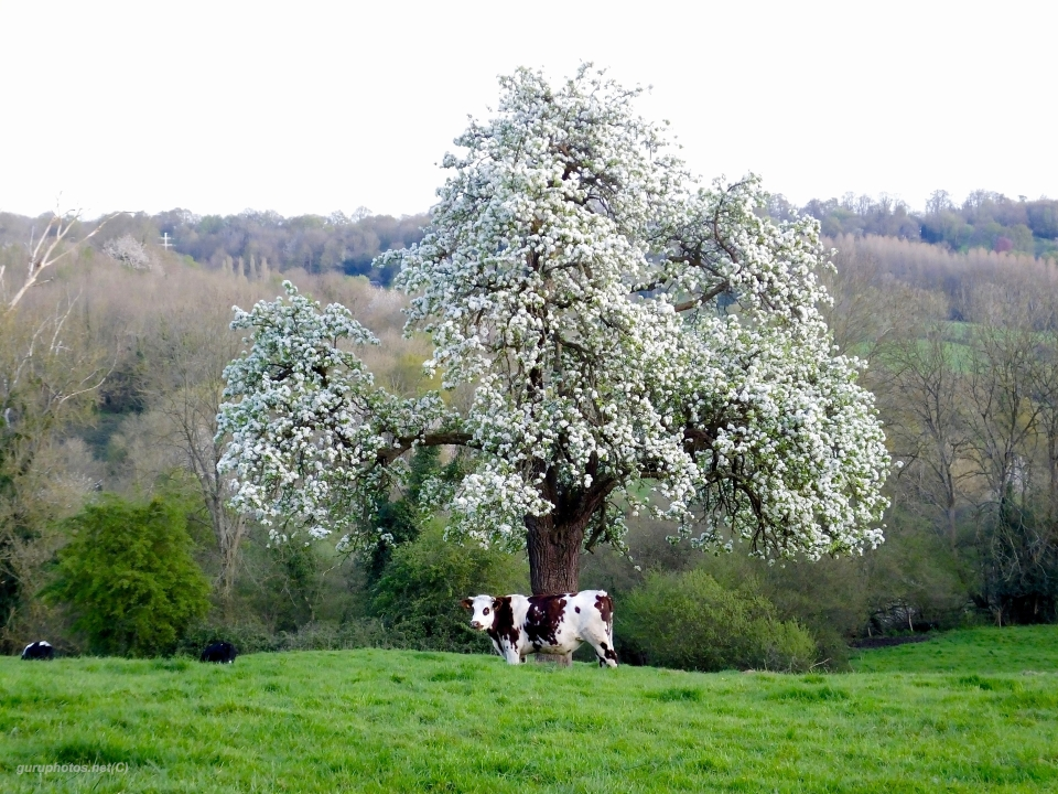 watermark cow apple tree